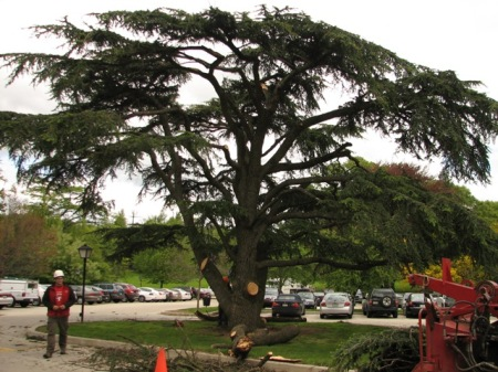 cedar of Lebabon, Arbor Day
